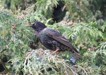 Starling In A Tree