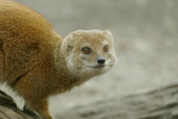 Stokstaartje zie -zoo