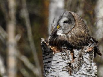 (Strigiformes: Strigidae) Strix nebulosa ♀, Lappuggla / Great grey owl