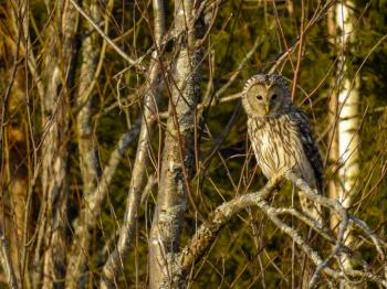 (Strigiformes: Strigidae) Strix uralensis, Slaguggla / Ural owl