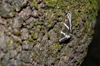 Striped brown and white butterfly