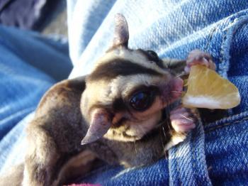 Sugar Glider eating