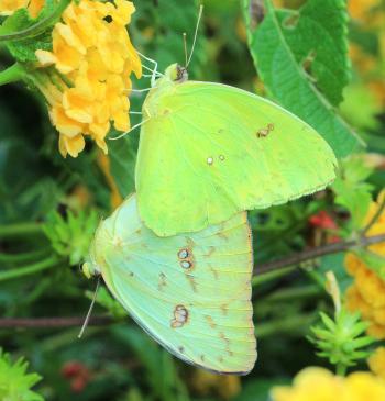 SULPHUR, CLOUDLESS (Phoebis sennae) (9-22-2014) 78 circulo montana, patagonia lake ranch estates, scc, az