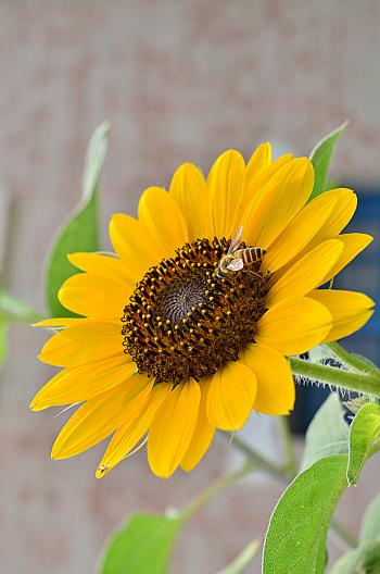 Sun Flower And The Bee!
