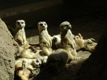 Sunbathing Meerkats