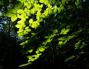 Sunlight on beech leaves in Gullmarsskogen ravine 1