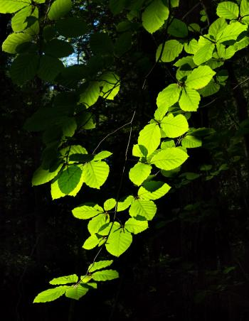 Sunlight on beech leaves in Gullmarsskogen ravine 3