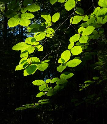 Sunlight on beech leaves in Gullmarsskogen ravine 4