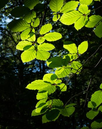 Sunlight on beech leaves in Gullmarsskogen ravine 5