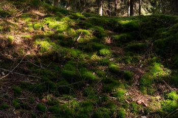 Sunlight spots on moss in Gullmarsskogen ravine 2
