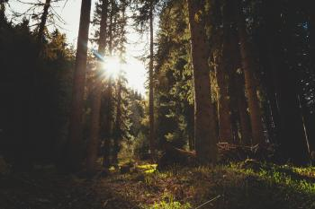 Sunlight Through Trees in a Forest