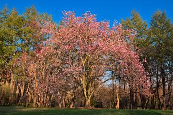 Sunset Magnolia Tree - HDR