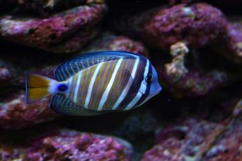 Surgeon Fish