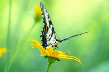 Swallow Tail on a Daisy