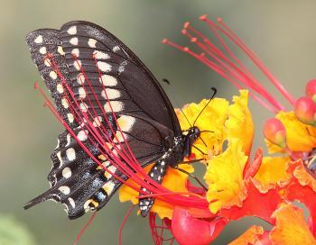 SWALLOWTAIL, BLACK (Papilio polyxenes) (9-8-11) male, 78 circulo montana, patagonia lake ranch estates, scc, az