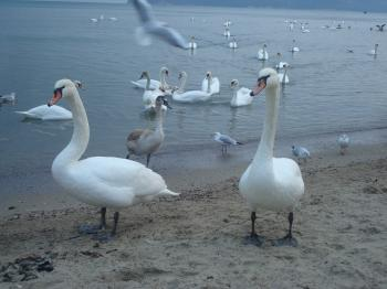 Swans at the Black Sea cost