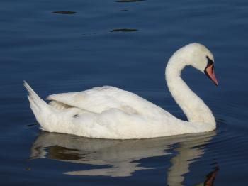 Swans Blue Wonder