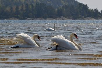 Swans in the sea