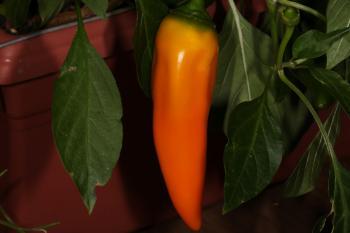 Sweet orange pepper