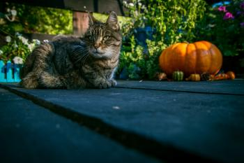 Tabby cat sitting next to pumpkin