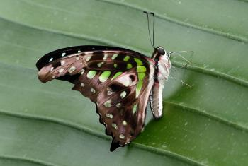 Tailed Jay.(Graphium agamemnon)