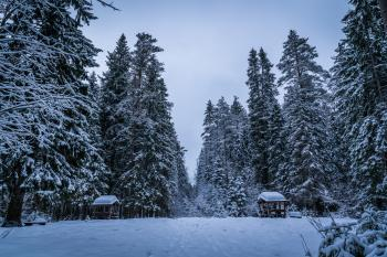 Tall Green Trees Filled With Snows during Winter