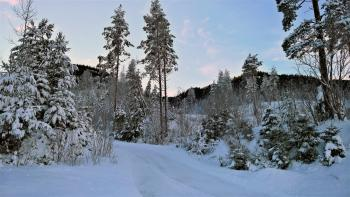 Tall Trees Covered With Snow Near Cliff