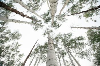 Tall Wood