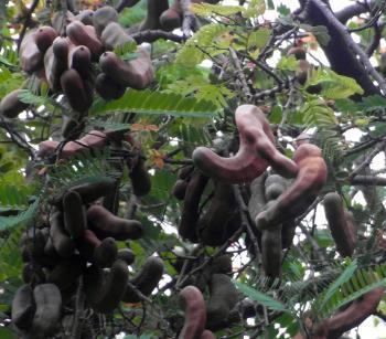 Tamarind Fruit Tree