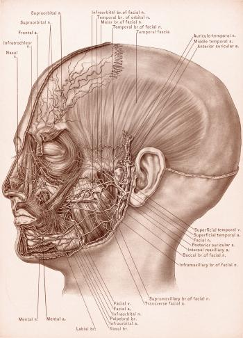 Temporal Fascia and Nerves of Face, Circ