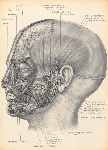 Temporal Fascia and Nerves of Face