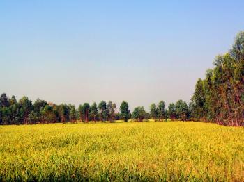 Thai rice field