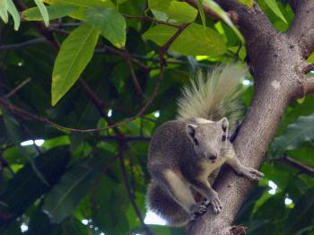 Thai squirrel