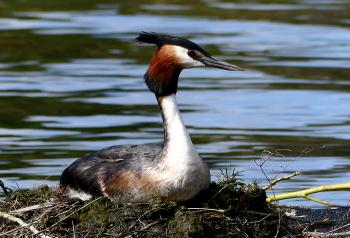 The Australasian crested grebe.