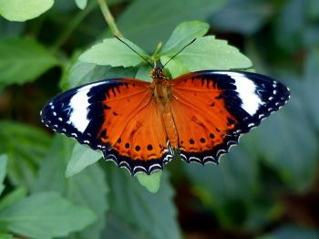 The Leopard Lacewing (Cethosia cyane)