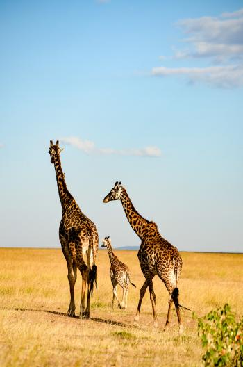Three Brown-and-black Giraffes Walking