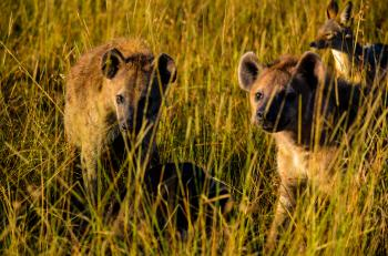 Three Hyena Animals On Grass Field
