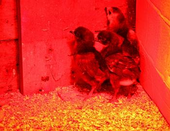 Three young chicks at the nursery - In the farm series