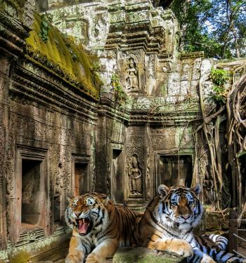 Tigers in the Temple
