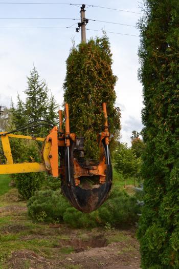 Transplanting thuja tree