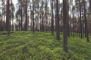 Trees in Forest with Green Groundcover