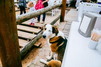 Tricolor Coonhound Beside Table