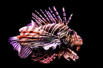 Tropical fish - Red Lionfish - Pterois volitans