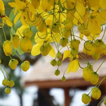 Tropical Yellow Blossom Tree