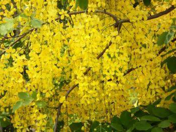 Tropical Yellow Blossom Tree