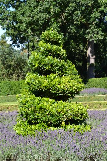True laurel topiary