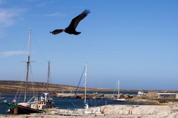 turkey vulture flying over harbour