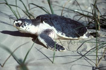 Turtle in the Sand