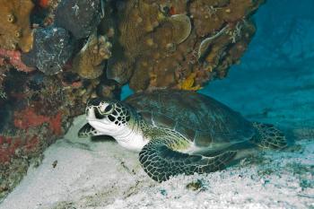 Turtle in the Sea