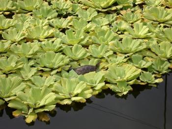 Turtle on Lilies